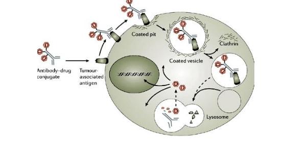مکانیسم عمل ADC ها